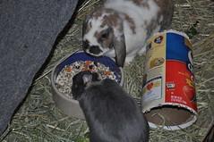 Bella and Max share dinner together (sensitivebunnyguy) Tags: bunny bunnies netherlanddwarfrabbit cutebunnies santamax cuterabbits cuterabbitphotos cutebunnyphotos nikond5000 lopearrabbits santabunnies santasundae