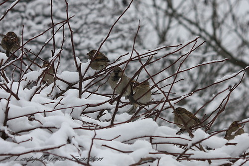 HouseSparrows_IMG_3833