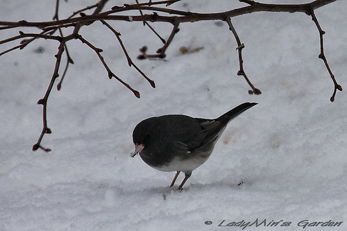 BlackeyedJunco_IMG_3883