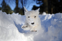 Clara Snow 205 (friedpixphoto) Tags: dog snow puppy md snowstorm westie maryland terrier westhighlandwhiteterrier blizzard towson pouncing samfriedman friedpix friedpixphoto highqualitydogs highqualityanimals