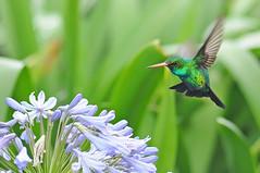 Beija-flor (Pedro Cavalcante) Tags: naturaleza bird nature animal nikon hummingbird natureza natur natuur sigma pssaro natura 105 fugl  beijaflor dier oiseau animale  tier vogel dyr pjaro uccello colibr  105mm sigma105  kolibri d90    kolibrie sigma105mm oiseaumouche colibr    nikond90