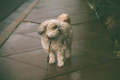 (fivefortyfive) Tags: toby dog film woosh wind haha fivefortyfive yashicafx3super2000 manihaventuploadedinages maggieannre