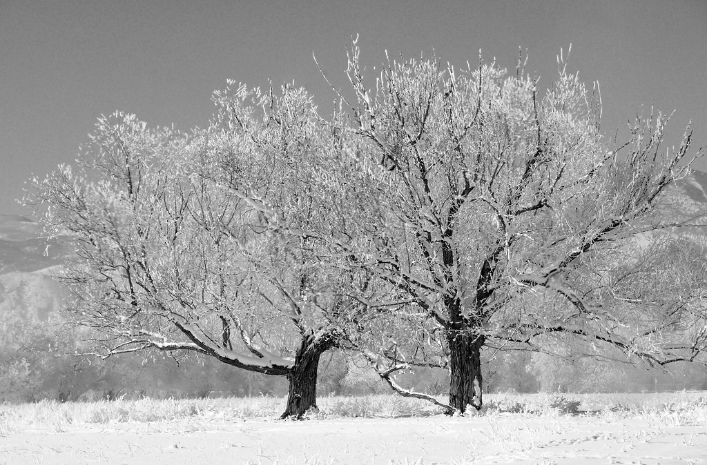 two frosted trees near venice 12 26 09 bw