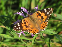 (memoria.) Tags: butterfly schmetterling paintedlady distelfalter