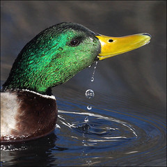 ~ Dunk 'n' Duck ~ (ViaMoi) Tags: canada bird nature water duck drops pond play drink action ottawa conservation drop mallard drake waterfowl avian dribble dunk naturalist resurface viamoi