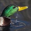 ~ Dunk 'n' Duck ~ (ViaMoi) Tags: canada bird nature water duck drops pond play drink action ottawa conservation drop mallard drake waterfowl avian dribble dunk naturalist resurface viamoi