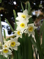 Narcisos Diciembre 2009 (Javier Garcia Alarcon) Tags: flores narcisos