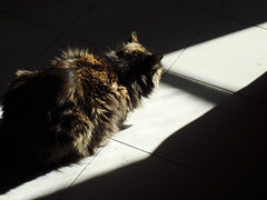A nap under the sun (Toshiko Sakurai) Tags: shadow sunlight animal cat sleeeping catnipaddicts