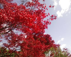 foglie rosse, red leaves, 紅葉