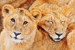 [フリー画像] [動物写真] [哺乳類] [ネコ科] [ライオン] [寝顔/寝相/寝姿]      [フリー素材]