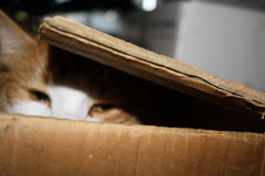 i see you (ScootaCoota Photography) Tags: christmas xmas summer orange white playing cute male face animal cat canon photography photo eyes kitten funny looking box packing january kitty australia pic perth inside boxes haha aussie playful 2010 scoota coota 1000d
