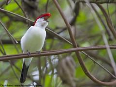 Araripe Manakin - Antilophia bokermanni
