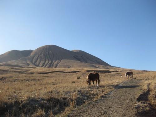 aso horses