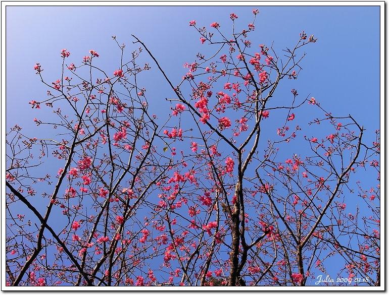 山櫻花開 (1)