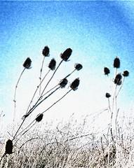 Last Summer Reprise (Grooover) Tags: uk suffolk thistle seed heads felixstowe grooover
