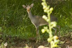 Günther's dik-dik (tatlmt) Tags: omovalley ethiopia bovidae dikdik omo madoqua günthers guentheri madoquaguentheri günthersdikdik