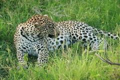 Leopard (lourobbo) Tags: southafrica leopard timbavati tandatula