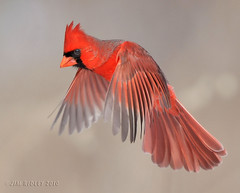 Northern Cardinal Checking Things Out! (JRIDLEY1) Tags: winter red wings nikon michigan 500mm malecardinal naturesfinest supershot mywinners platinumphoto anawesomeshot impressedbeauty avianexcellence flickrdiamond brightonmichigan nikond3 jridley1 jimridley dailynaturetnc09 httpjimridleyzenfoliocom photocontesttnc10 northerncardinalflying lifetnc10 jimridleyphotography photocontesttnc11 photocontesttnc12