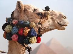 Cook's -Kamel (vom Prospekt - Reisen ), 479 (roba66) Tags: animal animals tiere cook tier kamel youscore flickrunitedaward roba66