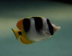 Pez Mariposa - Butterflyfish