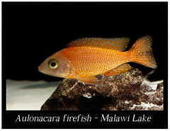 Aulonacara Firefish_800_01 (Bruno Cortada) Tags: malawi marino mbunas cclidos sudafricanos tanganyica