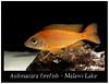 Aulonacara Firefish_800_01 (Bruno Cortada) Tags: malawi marino mbunas cíclidos sudafricanos tanganyica