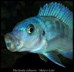 Maylandia callainos (Bruno Cortada) Tags: malawi marino mbunas cclidos sudafricanos tanganyica
