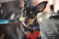 MaiProfile08 (Pinoy Honcho) Tags: dog mini pinscher minipin
