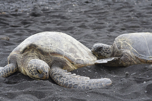 Sea turtles by ewen and donabel, on Flickr