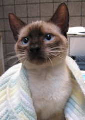 Lemon, a Siamese or Siamese Mix Kitten ~ Perfect, Beautiful, Friendly (Pixel Packing Mama) Tags: catsandkittensset heartlandhumanesociety pixelpackingmama blueeyedanimalspool furryfridaypool dorothydelinaporter catsarecool views25pool montanathecat~fanclub 25views50pool reallyunlimited spcacatspool cutekittenspool ceruleanthecat~fanclub somebodyelsescatpool 2550viewspostupto5perdaypool fotocatspool cutecatsandcuddlykittenspool boohooclub beautifulcatspool flickrscatspool cuteandcuddlypool allcatsallowedpool furrycatfriendspool views2650pool animalbabiespool babyanimalspool cuteandfurrymammalscuteyfurrymamiferospool watchfor51 catsrulersoftheworldcatsrockpool photosfrom20002010pool pixuploadedfirsthalfof2010set pixtakeninfirsthalfof2010set picturestakenwithcanonpowershota2000isin2010set catskittensstartingjanuary12010set obsessivephotography30perdaypool furrificcatpool siamesecatsandtheirfelinebrotherssisterspool tinnasunnamaxinestellasnewpool pixelpackingmama~prayforkyronhorman photosfrom20102020pool oversixmillionaggregateviews over430000photostreamviews