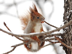 Mr. Threenuts (red R) Tags: winter snow squirrel nut sciurusvulgaris mkus