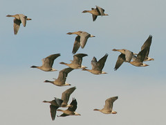 Pink-footed Geese, Sedgeford (Norfolk), 12-Nov-09 (Dave Appleton) Tags: bird birds geese norfolk goose anser wildfowl pinkfeet pinkfooted pinkfoot pinkfootedgoose anserbrachyrhynchus brachyrhynchus sedgeford pinkfootedgeese