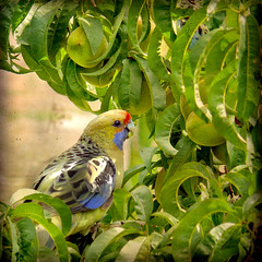 Life in a Peach Tree (missnoma) Tags: bird australia aves hay legacy avian naturesfinest crimsonrosella avianexcellence yellowrosella 3236cm platycercuselegansfaveolus whitepeachtree magicunicornverybest magicunicornmasterpiece