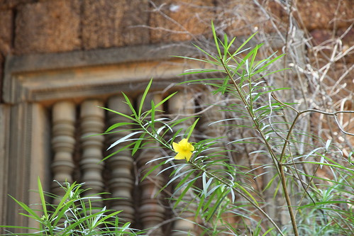 A yellow flower for Tet at Angkor Wat greater complex