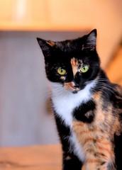 [フリー画像] [動物写真] [哺乳類] [ネコ科] [猫/ネコ] [三毛猫]      [フリー素材]