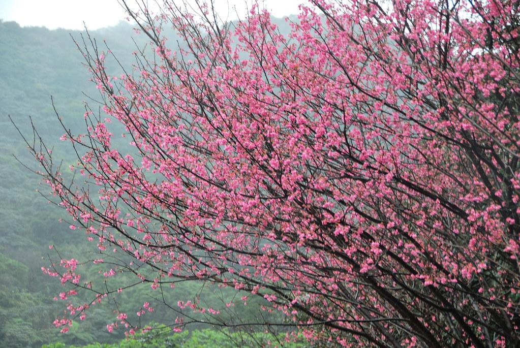 Sakura 櫻花怒放