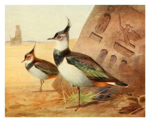 006-Avefria-Egyptian birds for the most part seen in the Nile Valley (1909)- Charles Whymper