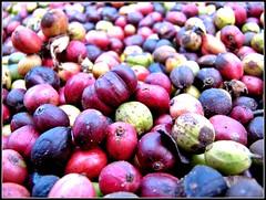 Dry Coffee Beans (Sandeep SK) Tags: travel india macro coffee canon photography beans dry super powershot s2is karnataka coorg estates otw suntikoppa sandeepsk