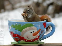 I'm Into Something Good (flipkeat) Tags: red cute cup nature animal animals closeup pine fun outdoors rodent photo big squirrel funny photos bokeh wildlife awesome front explore page mississauga fp ardilla eichhrnchen portcredit hudsonicus hbw chickaree tamiascurus esquilho dschx1