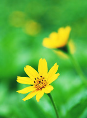 Do Re Mi... (Nicky Hing) Tags: park flowers plants flower nature beauty yellow closeup canon garden eos flora pretty dof bokeh sigma malaysia 1770 selangor wonderfulworldofflowers 1000d