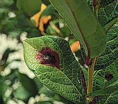 Gloeosporium Leaf Spot or Anthracnose