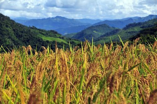 Caranavi_upland rice40_lo