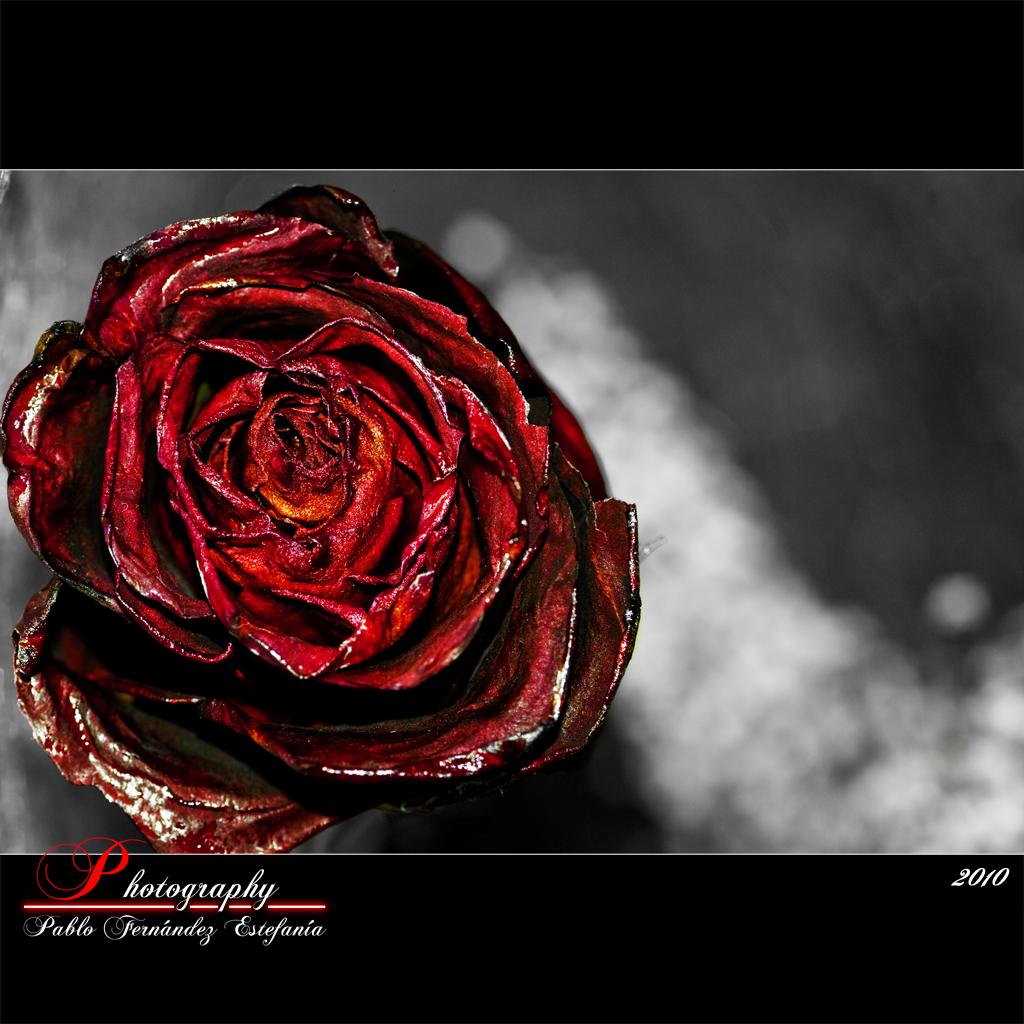 4398017886 e23f70abd0 o Dry Rose