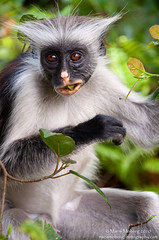 Red Colobus Monkey (mmoborg) Tags: africa animal animals tanzania zanzibar 2010 djur redcolobusmonkey thepinnaclehof tphofweek40 tphofscore5022 tphofthemeanimalsinthewild mmoborg mariamoborg