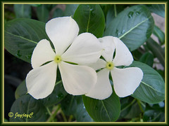 Catharanthus roseus (white)