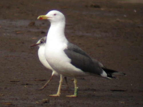 Lesser Black-Backed Gull green [RS3]
