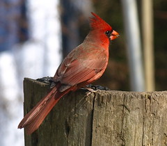 Cardinal Feeding on a Log