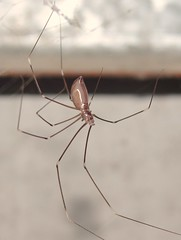 Daddy- long -legs (Pholcus phalangiodes) (Warrick Strachan) Tags: daddy spider long legs creepy crawly