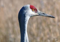 Sandhill Crane (mybulldog) Tags: nature birds nikon crane beak feathers sigma delta sandhillcrane reifel reifelbirdsanctuary d90 nikond90 sigma120400 d90nikon