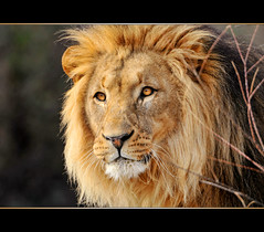 The beautiful lion of the zoo of Basel